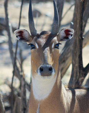 largest: A Nilgai, or Blue Bull, the Largest Asian Antelope is Found in India