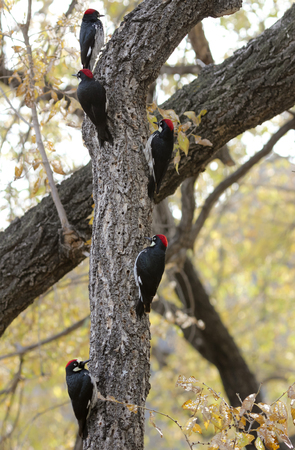 A Group of Five Acorn Woodpeckers in the Same Tree Stok Fotoğraf