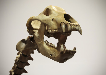 A Cave Bear Neck and Skull, Ursus spelaeus, Against a White Background Stock Photo