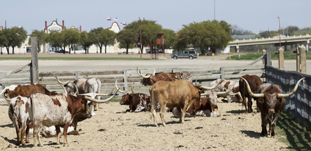 steers: FORT WORTH, TEXAS, MARCH 15. The Fort Worth Stockyards on March 15, 2017, in Fort Worth, Texas. A Herd of Texas Longhorn Cattle at the Fort Worth Stockyards historic district in Fort Worth, Texas.