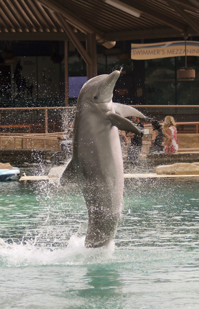 SCOTTSDALE, ARIZONA, MAY 14. Dolphinaris on May 14, 2017, in Scottsdale, Arizona.  A Bottlenosed Dolphin Breaches at Dolphinaris in Scottsdale, Arizona.