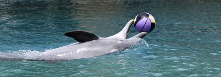 gray whale: A Happy Dolphin Swims on its Back Playing with a  Basketball at the Surface