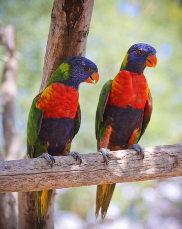 A Pair of Rainbow Lorikeets, Trichoglossus moluccanus, on a Branch