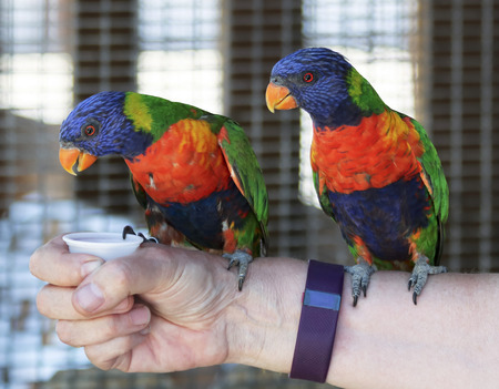 A Pair of Rainbow Lorikeets, Trichoglossus moluccanus, on an Arm