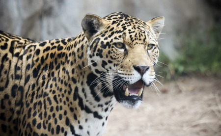 A Jaguar, Panthera onca, Stalking Its Prey in the Wild