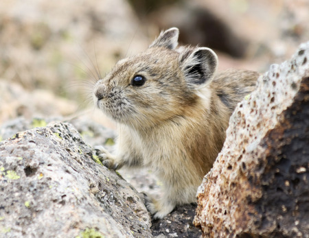 A Shy Little Pika Peers Out from the Alpine Talus Banque d'images
