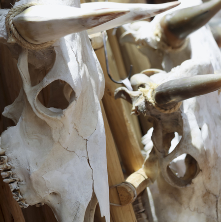 A Trio of Cow Skulls Hanging on a Wooden Rack Bleaching in the Sun Stock Photo