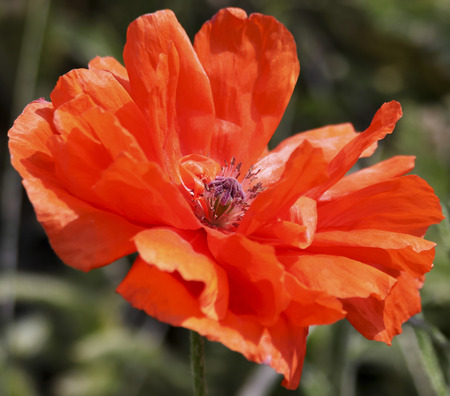 An Olympia Orange Oriental Poppy, or Papaver orientale, a Perennial Flowering Plant