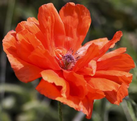 An Olympia Orange Oriental Poppy, or Papaver orientale, a Perennial Flowering Plant Banco de Imagens - 88226309