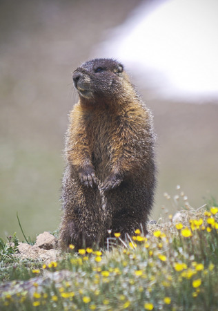 A Yellow-bellied Marmot with a Filthy Nose from Digging
