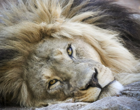 A Close Portrait of an Awake Male Lion Lounging on the Ground