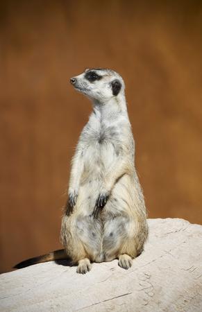 A Meerkat Stands Sentry Alert to Warn of Approaching Danger