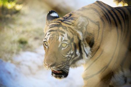 A Watchful Tiger Slinks Through the Jungles Dappled Sunlight