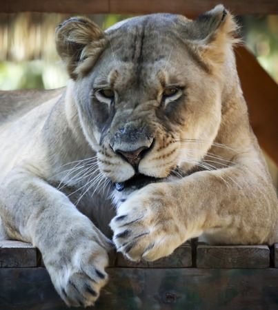 A Portrait of a Grumpy African Female Lion in a Zoo