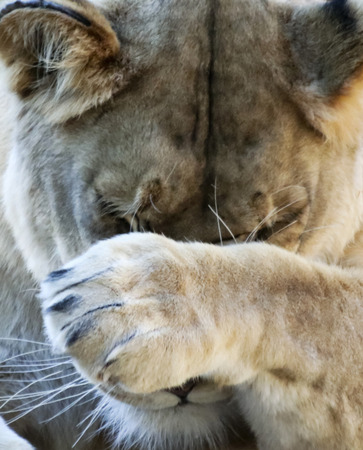 A Close Portrait of the Head of an Ashamed African Lion Female