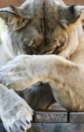 A Close Portrait of the Head of an Ashamed African Zoo Lion Female