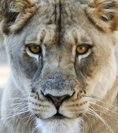 A Close Portrait of the Head of an African Lion Female