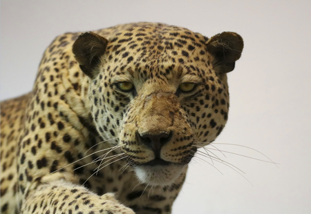 An African Leopard Preparing to Pounce Against White