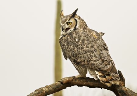 A Great Horned Owl, Bubo virginianus, Perched Against a White Sky Foto de archivo