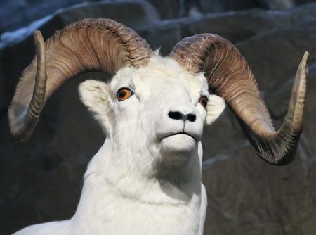 A Close Up Portrait of a Dall Sheep, Ovis dalli