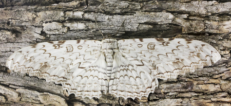 A Great Owlet Moth, Thysania agrippina, Waits Motionless on Bark