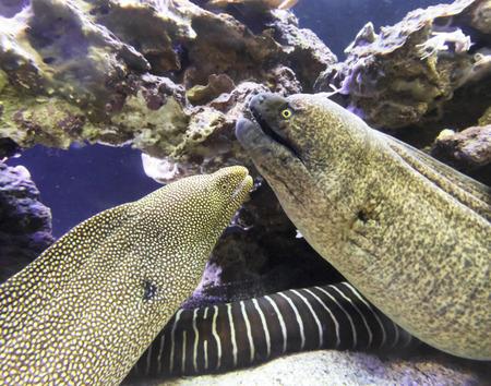 A Pair of Moray Eels on a Maui, Hawaii, Reef
