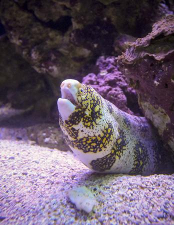 A Moray Eel on a Maui, Hawaii, Reef