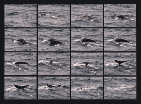 A Collage of a Humpback Whale as It Begins Its Sounding Dive, Disappearing Beneath the Waves