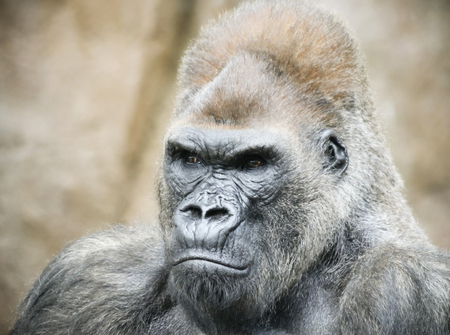Un retrato cercano de un gorila de espalda plateada mirando a popa