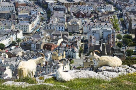 A Trio of Wild Kashmiri Goats Perched on the Great Orme Headland High Above the Seaside Resort Town of Llandudno, Wales, Great Britain, United Kingdom