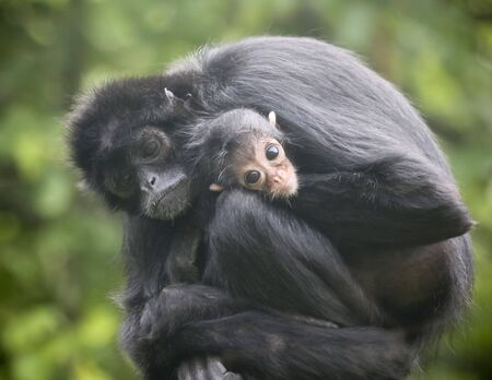 A Mother Black Headed Spider Monkey Embraces Her Baby 版權商用圖片