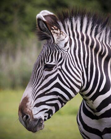 A Close Up View of the Striped Head of a Zebra, Equus grevyi Standard-Bild