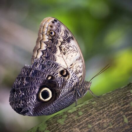 An Close Up of an Owl Butterfly, Caligo eurilochus