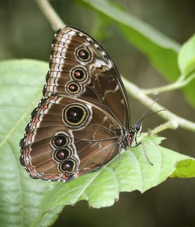 A Close Up of a Morpho Butterfly, Morphinae