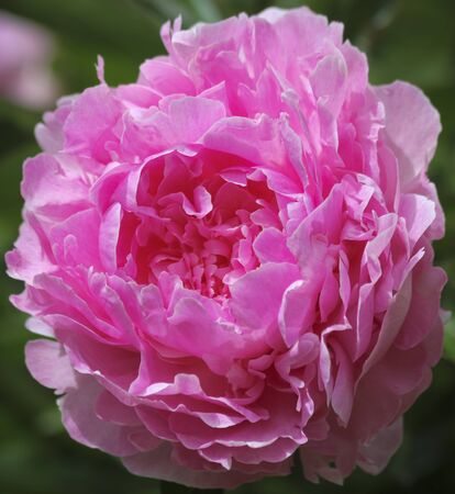 A Perfect Pink Peony Blossom in a Garden, Genus Paeonia