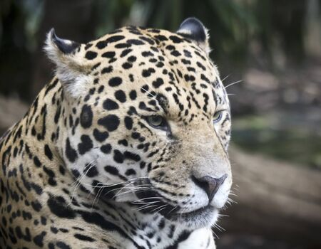 A Close Up Portrait of a Jaguar, Panthera onca