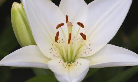 A Close Up Portrait of a White Lily Flower, Genus Lilium