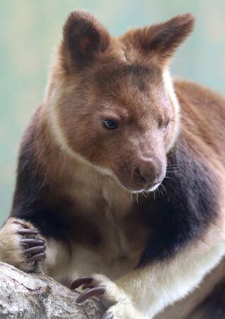 A Close Up Portrait of a Tree Kangaroo, Genus Dendrolagus