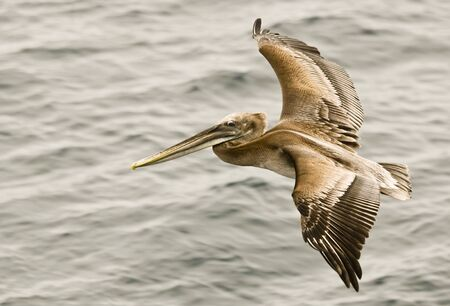 A Brown Pelican Gliding Just above the Waves