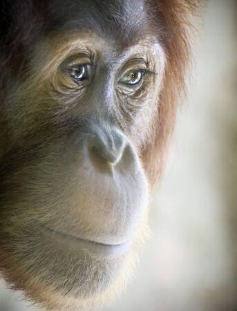 A Close Up Portrait of a Young Orangutan