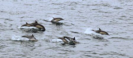 A Common Dolphin Pod Off San Diego, California, United States of America Zdjęcie Seryjne