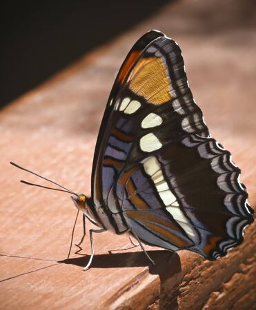 An Arizona Sister Butterfly on a Wooden Railing, Adelpha eulalia, Seen in Ramsey Canyon, Huachuca Mountains, Arizona, United States of America
