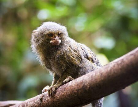A Close Portrait of a Pygmy Marmoset on a Tree Branch, Cebuella pygmaea Standard-Bild