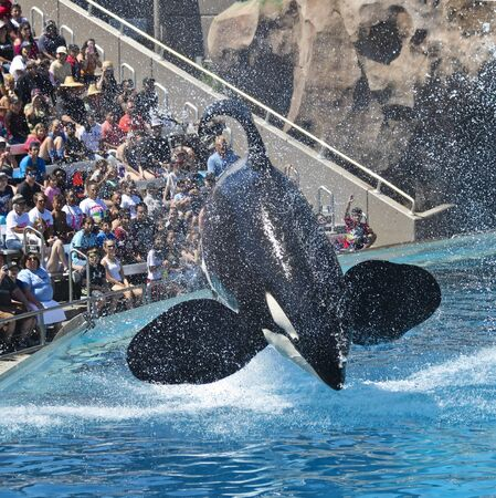 SAN DIEGO, CALIFORNIA, JULY 15. SeaWorld on July 15, 2019, in San Diego, California. A Killer Whale Performs for a Captivated Crowd at SeaWorld in San Diego, California, USA.