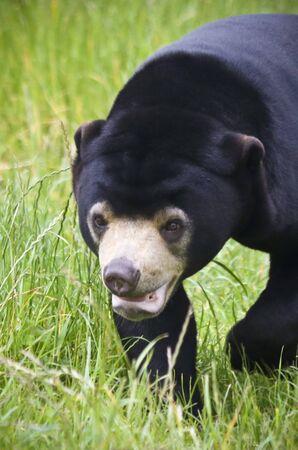 A Close Up Portrait of a Malayan Sun Bear, Helarctos malayanus