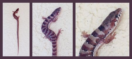 An Arizona Alligator Lizard on a Stucco Wall, Hereford, Cochise County, southern Arizona, American Southwest, USA