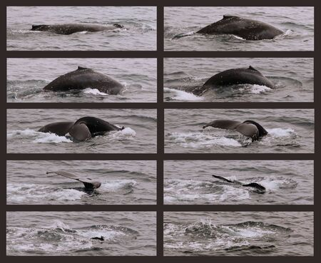 A Collage of a Humpback Whale as It Begins Its Sounding Dive and Disappears Beneath the Waves Standard-Bild