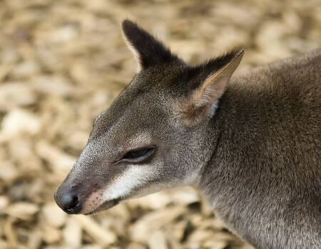 A Portrait of a Browns Pademelon, Thylogale browni, West Papua, Indonesia, and Papua New Guinea Standard-Bild