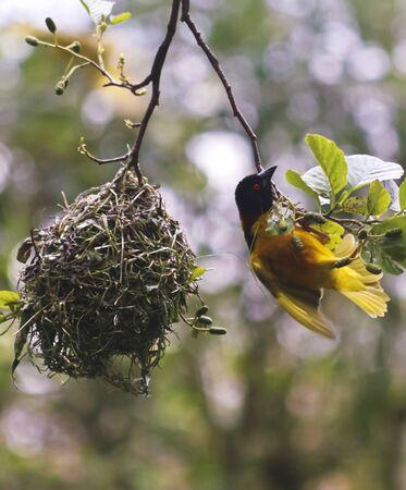 A Village Weaver Bird, Ploceus cucullatus, Found in Sub Saharan Africa