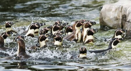 Noisy and Appearing Chaotic, a Raft of South American Humboldt Penguins, Spheniscus humboldti, Recognize Each Other Through Sounds and Vocalizations.